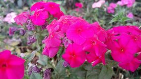 Menchii i rewolucjonistki kwiaty zadziwia natura wizerunek Zdjęcie Royalty Free