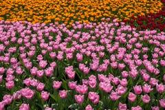 Menchii, koloru żółtego i czerwieni tulipany na naturalnym kwiecistym tle, Zdjęcia Royalty Free