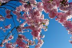Menchii okwitnięcia z powrotem zaświecali słońcem przeciw niebieskiemu niebu obrazy royalty free