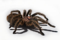 Menchii Podparta tarantula 2 Zdjęcie Royalty Free