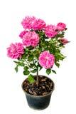 Menchii róża obraz stock