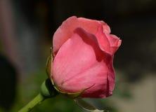 Menchii róża i mały insekt fotografia royalty free