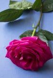 Menchii róża kłaść, bogaty kolor Obrazy Royalty Free