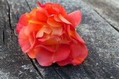Menchii róża na drewnianej powierzchni zdjęcia stock