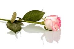 Menchii róża na trzonie z liśćmi odizolowywającymi na bielu Boczny widok Fotografia Royalty Free