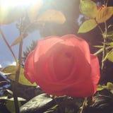 Menchii róża przeciw słońcu Fotografia Stock