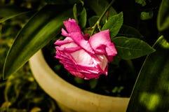 Menchii róża Wśród cieni Obraz Royalty Free