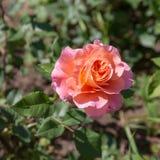 Menchii róża w lecie fotografia stock