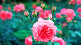 Menchii róża w ogrodowym //-beautiful kwiacie obraz stock