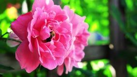 Menchii róża w ogrodowym //-beautiful kwiacie fotografia royalty free