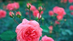 Menchii róża w ogrodowym //-beautiful kwiacie obraz royalty free
