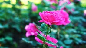 Menchii róża w ogrodowym //-beautiful kwiacie zdjęcia royalty free
