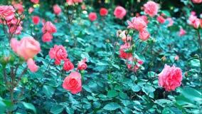 Menchii róża w ogrodowym //-beautiful kwiacie zdjęcia stock