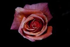 Menchii róża w pełnym kwiacie Obraz Royalty Free
