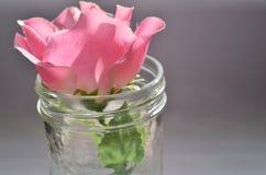 Menchii róża w słoju Obrazy Royalty Free