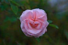 Menchii róża w zielonym tle obrazy royalty free