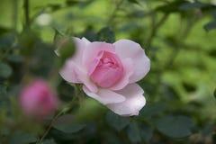 Menchii róża wewnątrz rosengarden zdjęcie stock