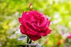 Menchii róża z kroplami rosa na jasnozielonym rozmytym background_ obrazy royalty free