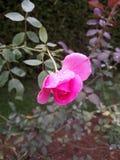 Menchii róża z pełnym wodne krople obrazy royalty free