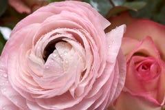 Menchii róża z wodą opuszcza zakończenie obrazy stock