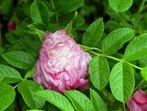 Menchii róży bukieta kwiaty na zakończeniu rozgałęziają się Fotografia Stock