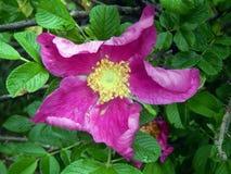 Menchii róży bukieta kwiaty na zakończeniu rozgałęziają się Obrazy Stock