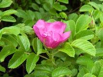 Menchii róży bukieta kwiaty na zakończeniu rozgałęziają się Obraz Royalty Free