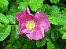 Menchii róży bukieta kwiaty na zakończeniu rozgałęziają się Fotografia Royalty Free