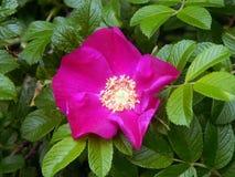 Menchii róży bukieta kwiaty na zakończeniu rozgałęziają się Obrazy Royalty Free