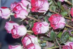 Menchii róży kwiat dla walentynki, przyjęcie, rocznica Zdjęcie Stock