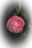 Menchii róży kwiat dla walentynki, przyjęcie, rocznica Obrazy Stock