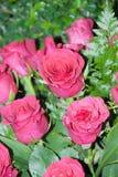 Menchii róży kwiat dla walentynki, przyjęcie, rocznica Zdjęcia Stock