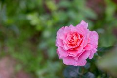 Menchii róży kwiat na natury tle Piękny róża kwiat w ogródzie kwiaty na róża krzaku w kwiatu ogródzie przy Zdjęcia Stock