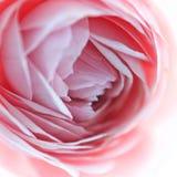 Menchii róży kwiatu okwitnięcia makro- miękka ostrość Obraz Stock
