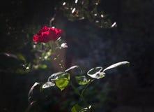 Menchii róży kwiaty zdjęcia royalty free