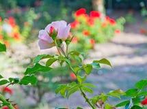 Menchii róży kwiaty obrazy royalty free