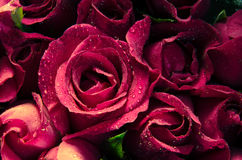Menchii róży okwitnięcie Zdjęcie Royalty Free