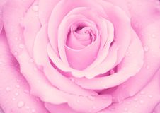 Menchii róży pączek z wodnymi kroplami Zdjęcia Stock