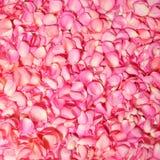Menchii róży płatki. Tło Zdjęcie Royalty Free