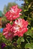 Menchii róży rodzaj Laetitia Casta w ogródzie Zdjęcia Stock