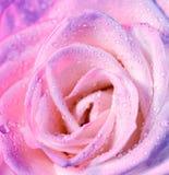 Menchii róży tło zdjęcie stock