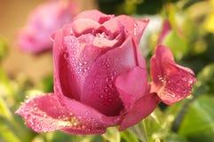 Menchii róży zbliżenie Zdjęcia Stock