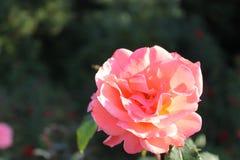 Menchii róża Obrazy Stock
