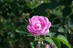 Menchii róża Zdjęcia Royalty Free