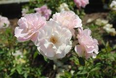 Menchii róża na kwiat scenie Fotografia Royalty Free