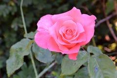 Menchii róża na Obfitolistnym tle 02 Obraz Stock