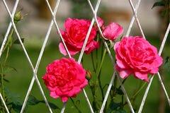 Menchii róża w ogródzie Obraz Royalty Free
