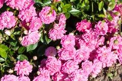 Menchii róża w ogródzie Zdjęcia Royalty Free