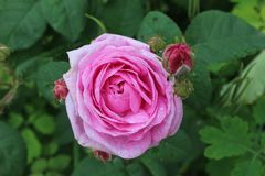 Menchii róży kwiat w ogródzie Fotografia Royalty Free