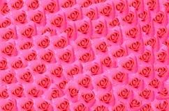 Menchii róży kwitnienie fotografia stock
